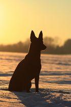 Hollandse Herder im Sonnenuntergang