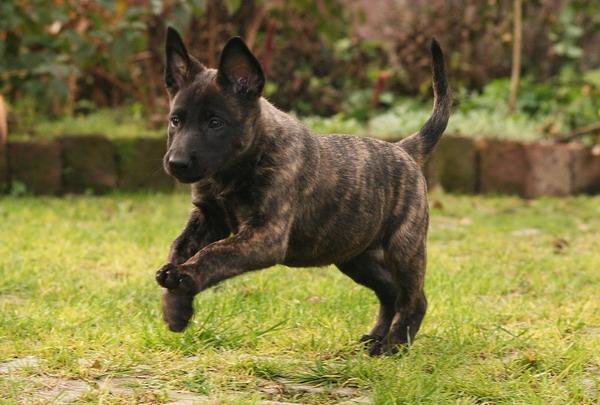 Herder hund