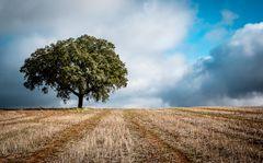 Holm oak in wheat field