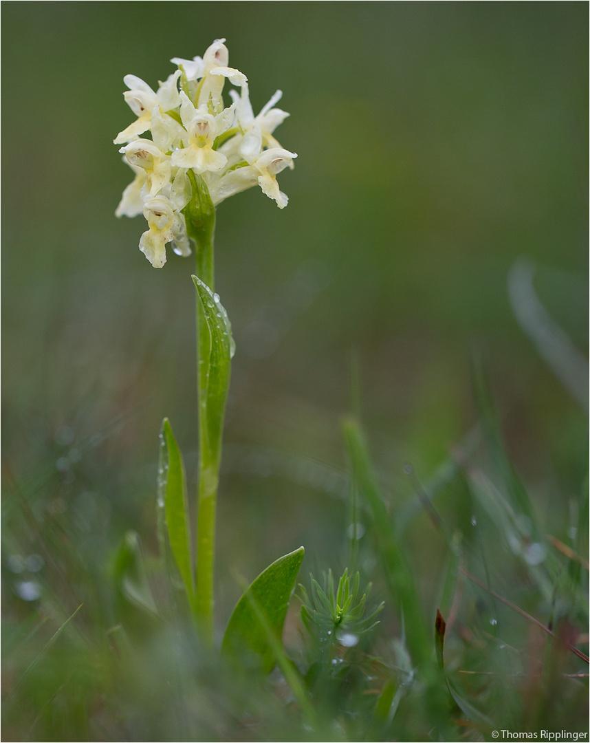 Holunder-Knabenkraut (Dactylorhiza sambucina) -