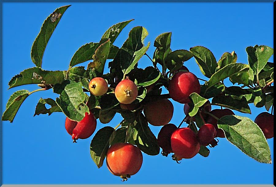 Holz-Apfel 2