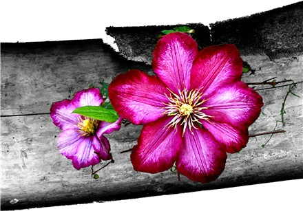 """Holz-Clematis"""