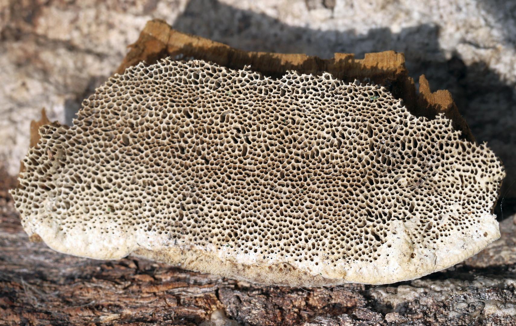 Holz-Pilz