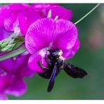 Holzbiene nach Blütenstaubbad