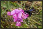 Holzbienen mögen Wicken