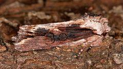 Holzrindeneule