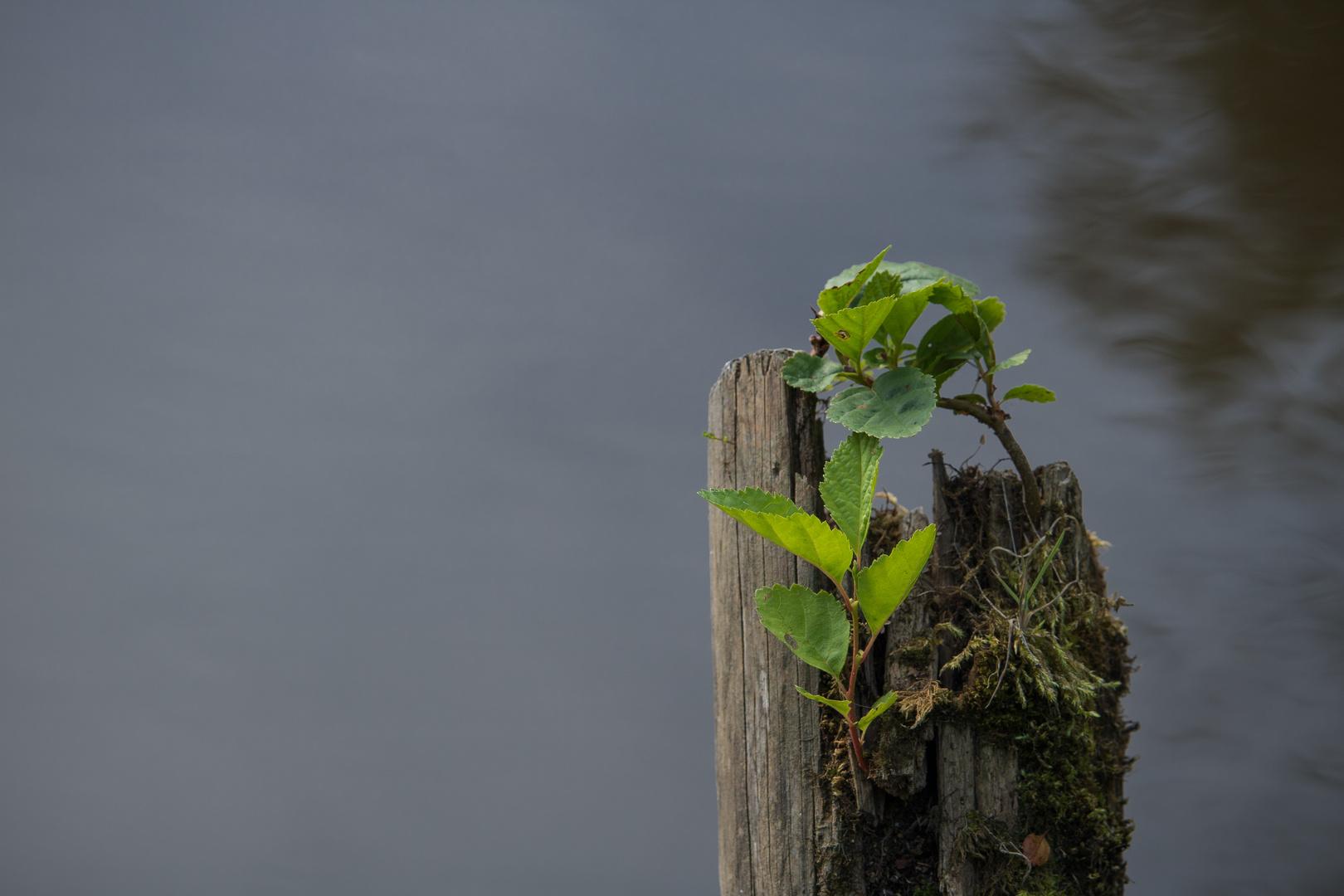 Holzstumpf mit neuen Pflanzen