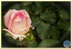 Hommage an Herbert und Edwin - Die trauernde Rose