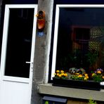 """Hondje"" - Hund in Blumenfenster/ Belgien"