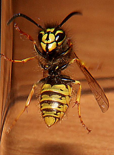 Honey Hornet
