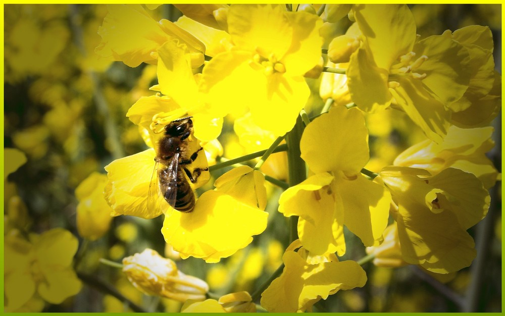 Honeybee 2