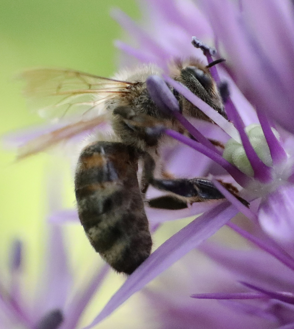 Honig-Dieb