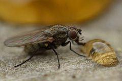 Honig ist unwiderstehlich, auch für Fliegen...