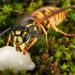Honig-Wespe