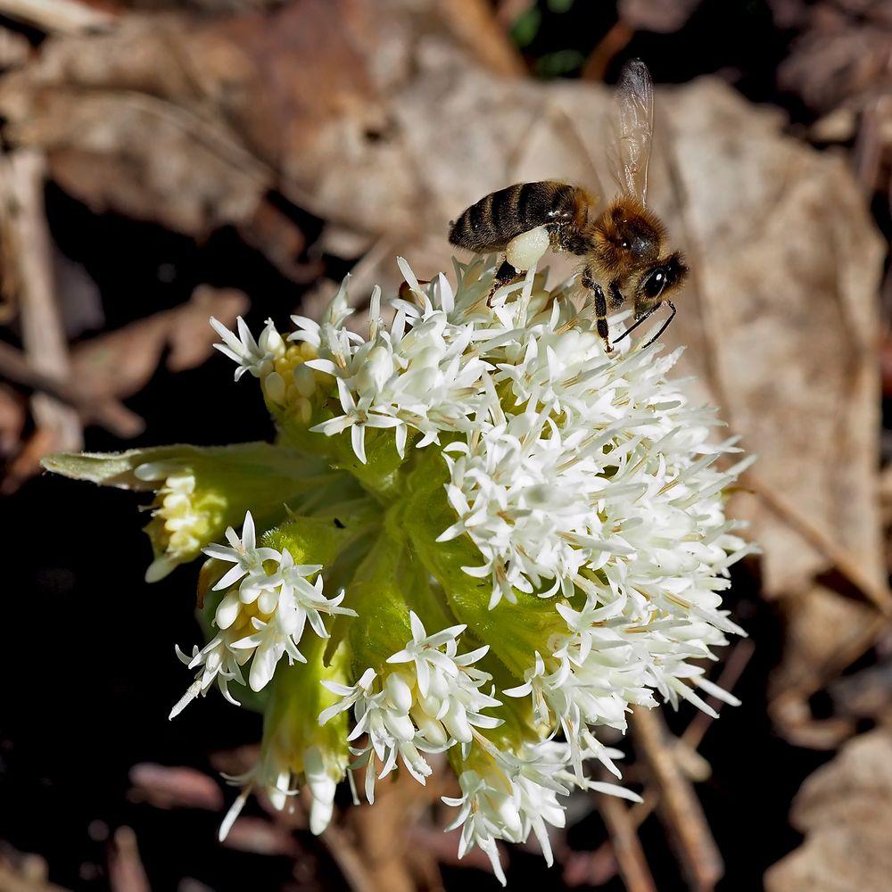 Honigbiene (Apis mellifera) auf Weisser Pestwurz (Petasites albus).