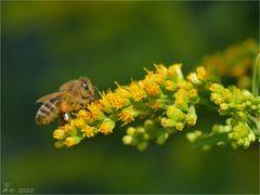 Honigbiene auf Goldrute.