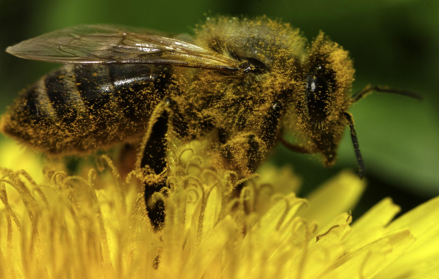 Honigbiene auf Löwenzahn 2