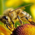 """Honigbiene bei der """"Arbeit"""""""
