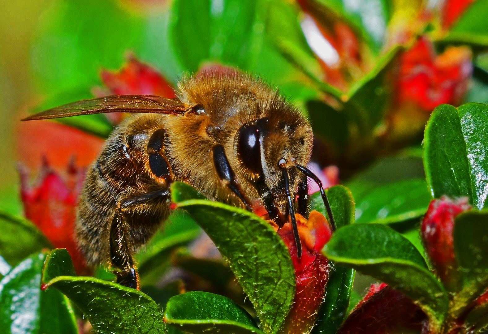 Honigbiene beim Sammeln an kleinen roten Blütchen