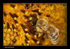 Honigbiene  durch die Lupe