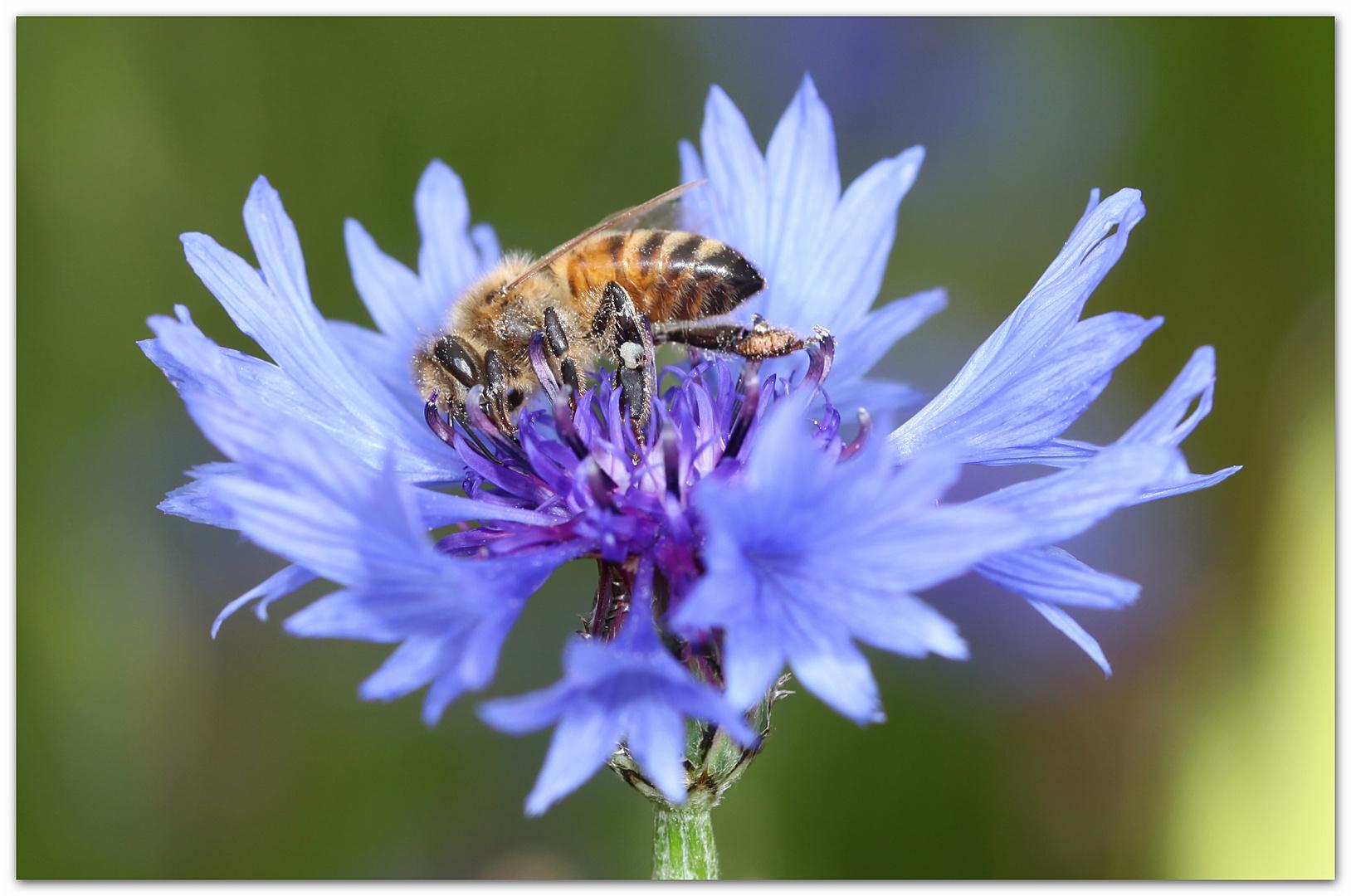 Honigbiene höselt_0249