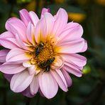Honigbienen auf der Dahlie
