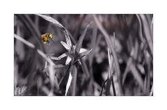 Honigflieger