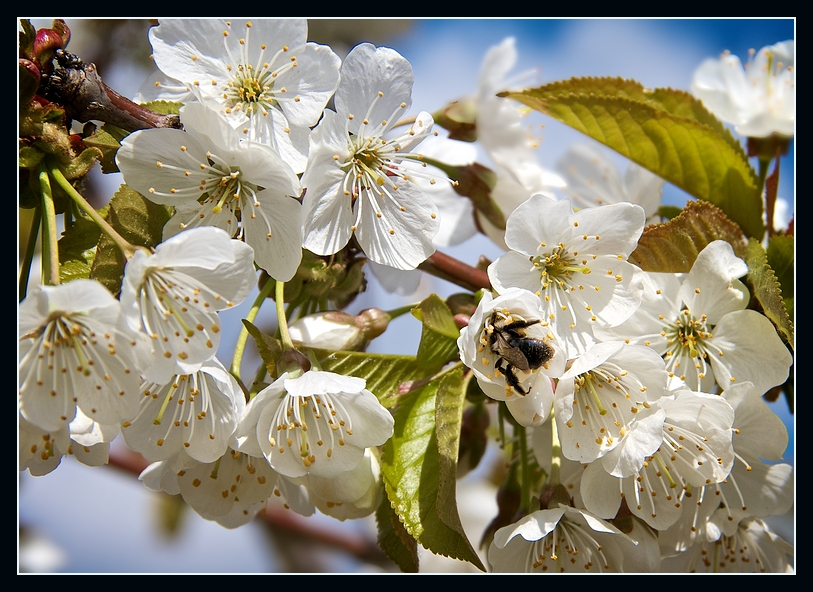 Honigräuber