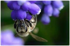 Honigsammlerin -reload-