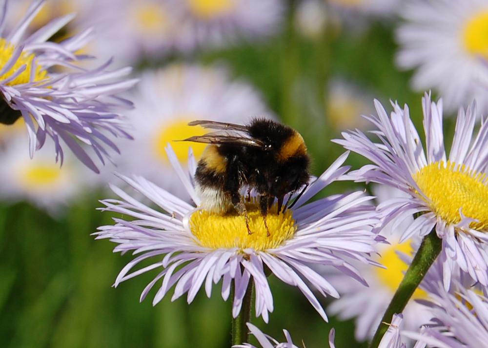 Honigschlürfen
