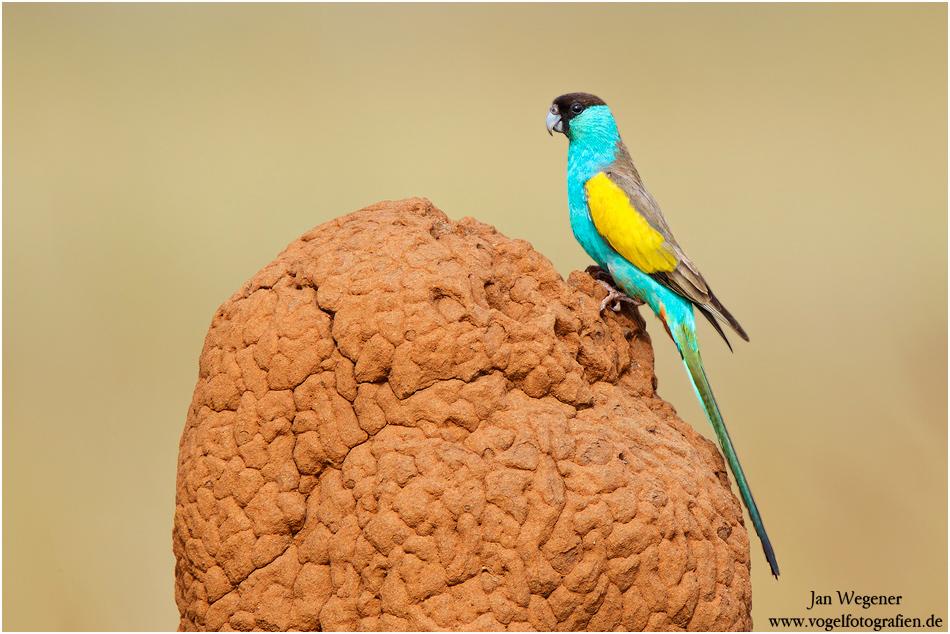 Hoodedsittich (Psephotus dissimilis) Hooded Parrot