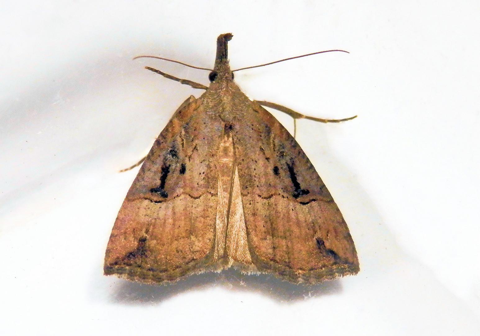 Hopfen-Schnabeleule (Hypena rostralis) im November