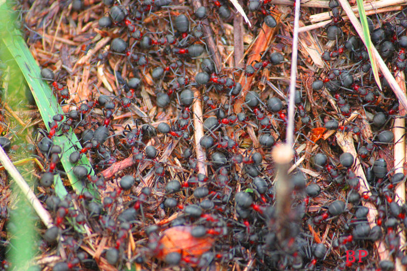 Hormigas por un tubo