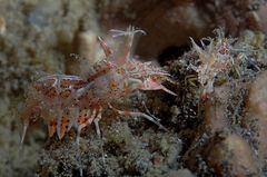 Horn-Hummelgarnele (Tiger-Shrimp)