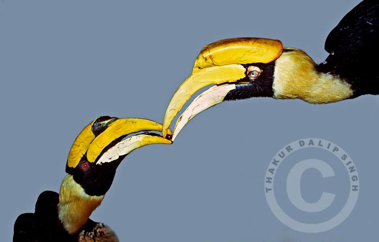 Hornbill Courtship Feeding