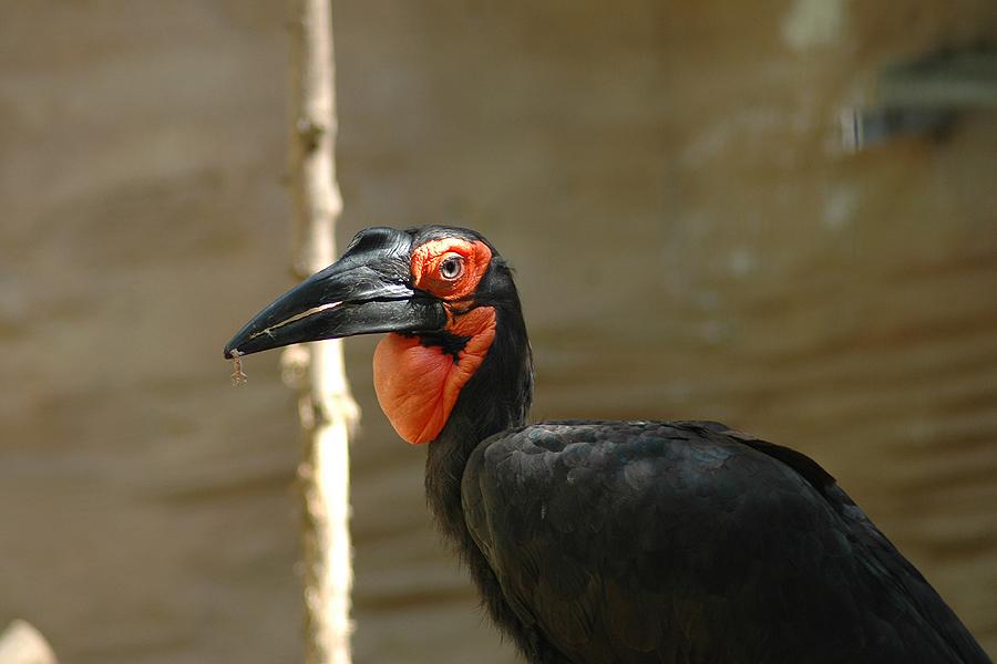 Hornbill - Konserve