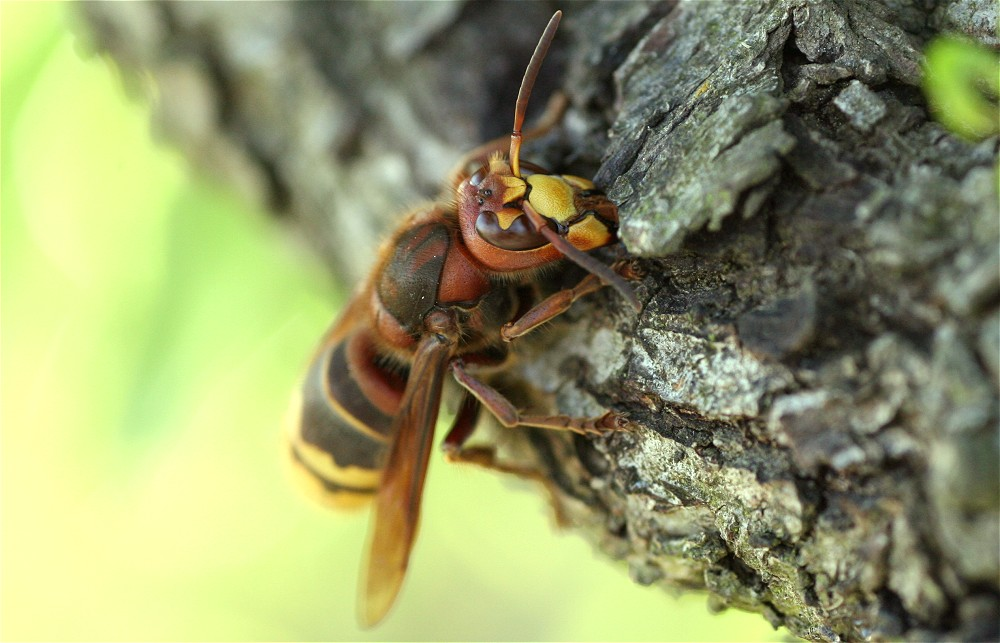 Hornet : 1