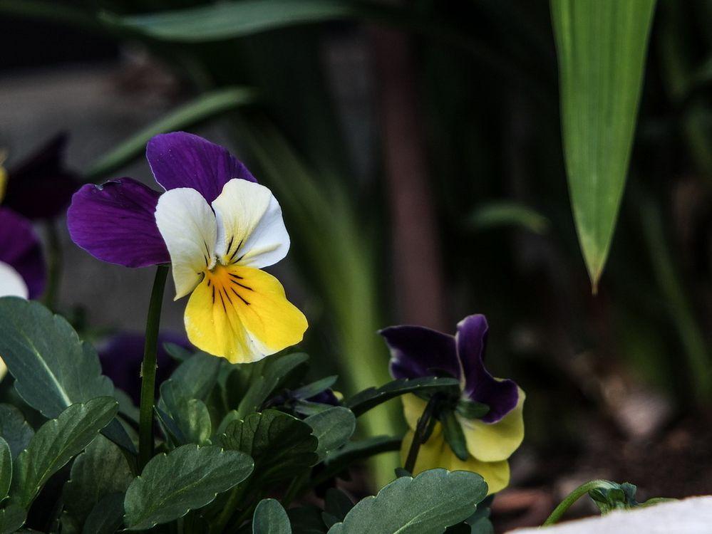 Hornfeilchen
