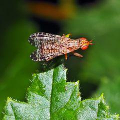 """""""Hornfliege"""" (Euthycera chaerophylli) *  siehe Anmerkung von F. Marquard"""
