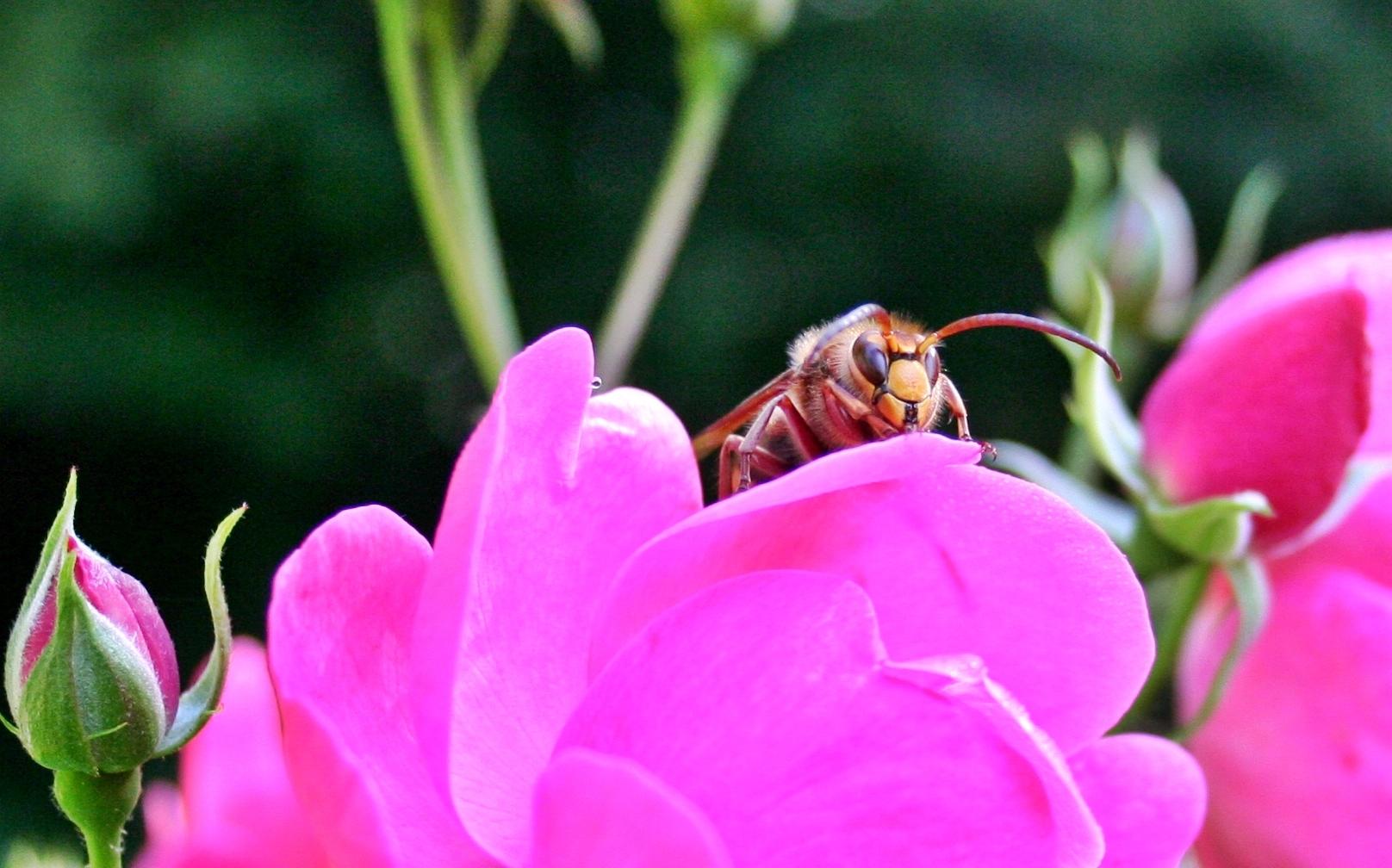 Hornisse auf Rose