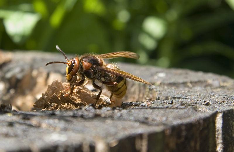 Hornisse bei der Nestmaterialbeschaffung