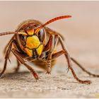hornisse (vespa crabro)......