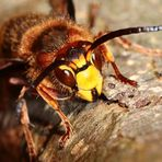 Hornisse (Vespa crabro) - III -