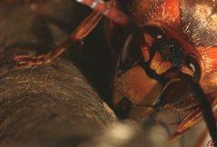 Hornisse (Vespa crabro) - IV -