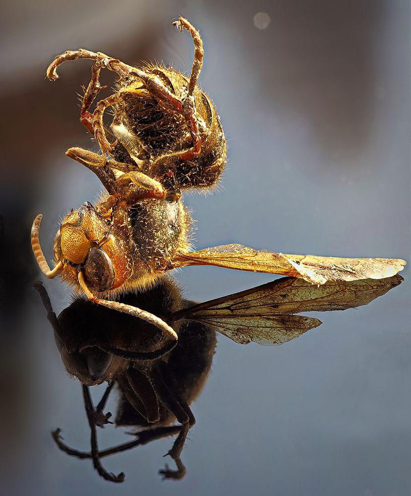 Hornissen-Mumie