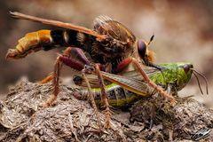 Hornissen Raubfliege (Asilus crabroniformis)mit Beute