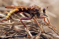Hornissen Raubfliege (Männchen)