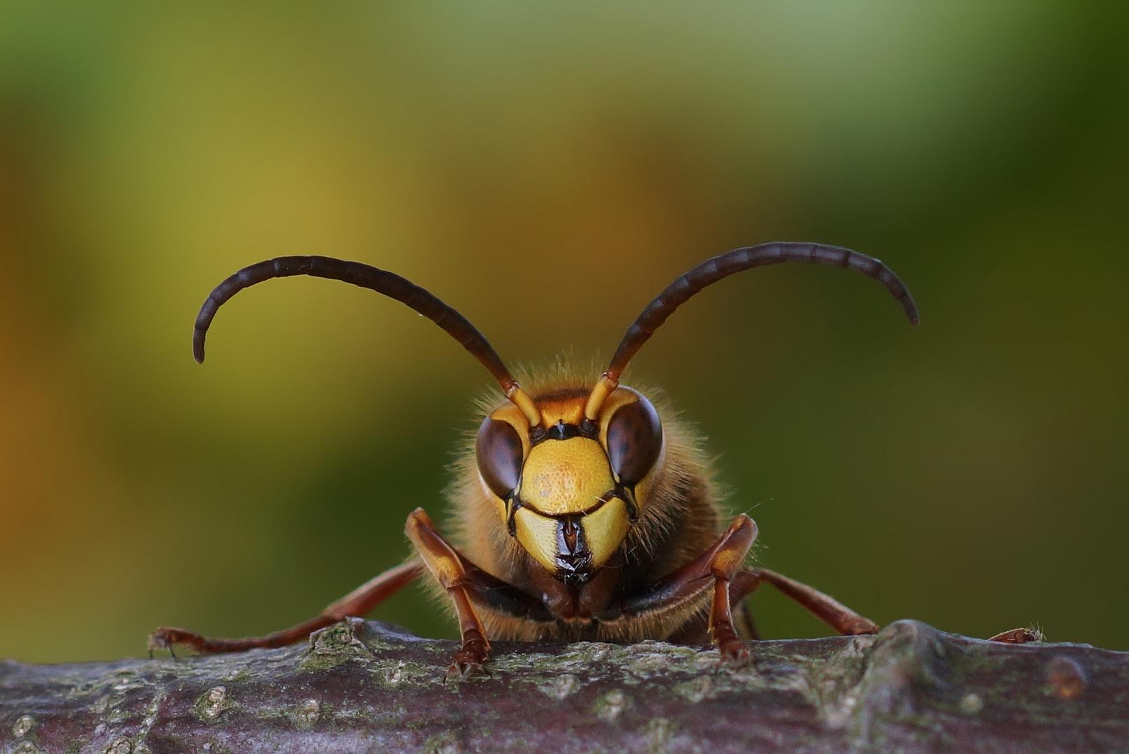 Hornissendrohn - Vespa crabro - im Herbst