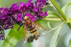 Hornissenschwebfliege – mehr Schein als Sein