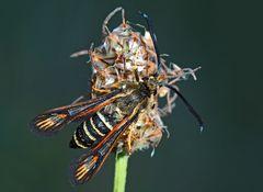 Hornklee- oder Hauhechel-Glasflügler - ein Schmetterling! - La Sésie ichneumon ou de la Bugrane...